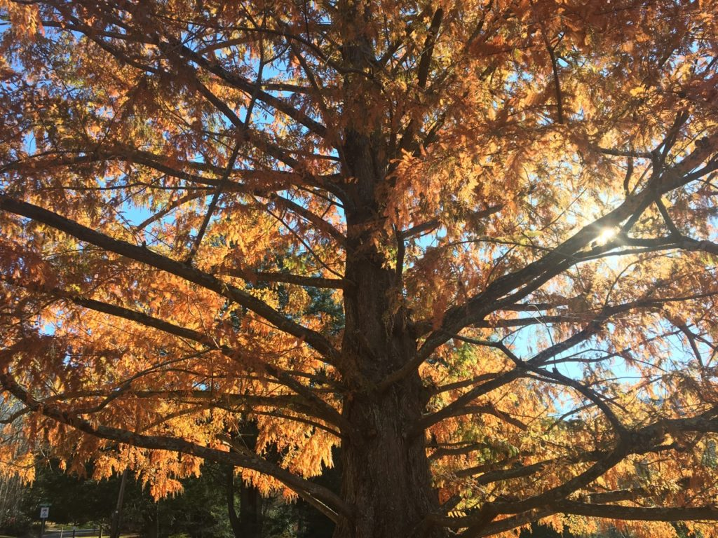 Photograph of a dawn redwood in fall with sun shining through the branches.